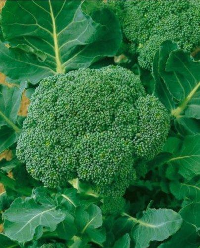 Brokkoli Waltham 29 – 250 Samen