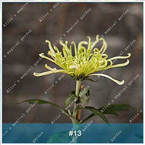 ZLKING 100 pièces / paquet colorés fleur de chrysanthème Bonsai Graines frais chinois Nature Haute Germination Taux Graines Plante en pot 13