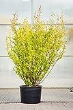 Alpen-Johannisbeere Schmidt 40-60 cm Strauch für Sonne-Schatten Heckenpflanze dunkelgrünes Laub Gartenpflanze winterhart 1 Pflanze im Topf