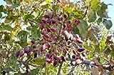 Portal Cool 64 Semillas: Pistacia Vera Siirt Turquía pistachos árbol orgánicos semillas frescas comestibles