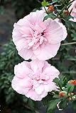 Hibiskus rosa Blüte Roseneibisch Pink Chiffon Hibiscus syriacus Pink Chiffon Containerware 40-60 cm hoch,