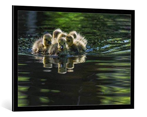 kunst für alle Bild mit Bilder-Rahmen: Xiaobing Tian Cute Baby Canada Geese - dekorativer Kunstdruck, hochwertig gerahmt, 100x70 cm, Schwarz/Kante grau (Canada Goose Grau)