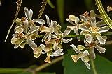 10 Neembaum Samen, Niembaum, Azadirachta indica, Vierziger Baum, ayurveda Medizin