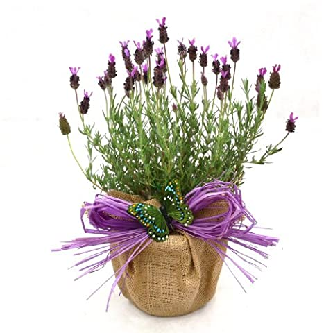 A POT OF SCENTED FRENCH LAVENDER -Superb Plant & Flower Gift For Mothers Day, Birthday,New Home Or Just A Simple