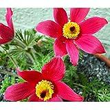 TOPmountain Pulsatilla Pasque Blume 70 Stück Garten Balkon Pflanzen Samen Dekor