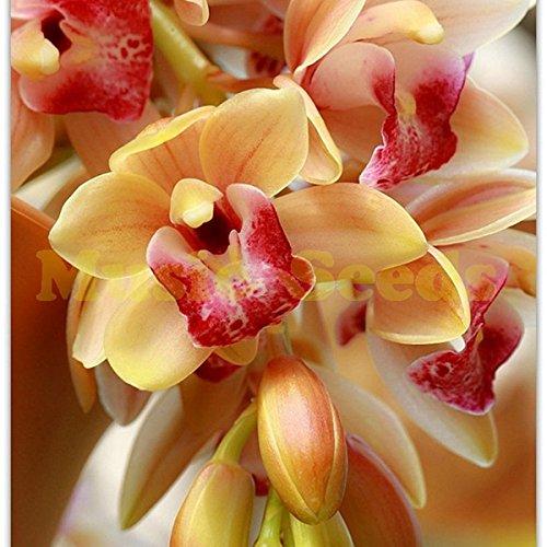 1bad = 100 pcs cymbidium jaune orchidée balcon graines de bonsaï de folowers rares pour la maison et le jardin