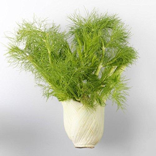 mymotto 100 pcs Fenouil Graines Apiaceae Graines Semences de Légumes Biologique Maison Jardin