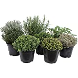 Pacchetto di erbe italiane con 5 erbe/origano, basilico, prezzemolo, timo, maggiorana / 250 semi/Ideale per il davanzale/il proprio orto/vasi per erbe