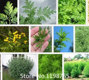 Promotion 2016 New Artemisia annua Graines Jardin Bonsai Graines Plante-100pcs Variétés Arbre intérêt Graines vivaces Evergreen Nove