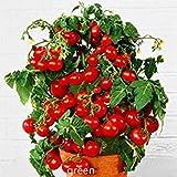 Fresh semi bonsai pomodoro Mini Cherry vaso dolce frutta ortaggi biologici - 10 pc / lotto
