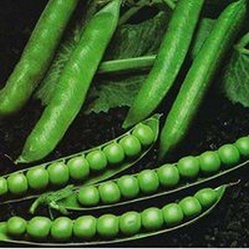 PLAT FIRM GRAINES DE GERMINATION: 100 - Graines: pois de jardin Graines 'Green Arrow' - Riesig Renditen !!! Savoureux pois !!! Kostenloser VERSAND !!!!