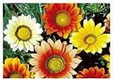 5x Gazanien F1 Daybreak mix - Gazanien Samen Blumen Saatgut Garten KS41