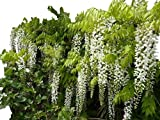 Climbing Plant- Wisteria 'Longissima Alba' - Large Wisteria Plant -1.5M Tall