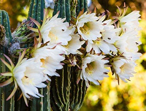 Kaktus 'Königin der Nacht' - 20 Samen
