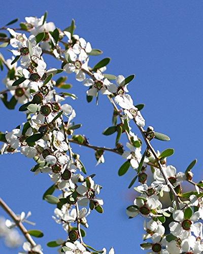 Árbol de Té   Aceite Esencial 100% Puro   30ml