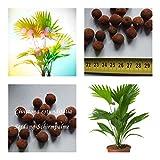 Livistona rotundifolia - Serdang-Schirmpalme - Samen (20)