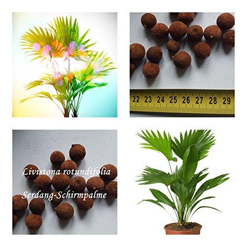 Livistona rotundifolia - Serdang-Schirmpalme - Samen (10)