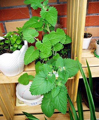 100 graines de chaque pack parfum Mentha arvensis herbes aromatiques Graines de plantes