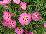 Portal Cool Viola Cistus Purpureus * * 9cm Pot * Rock Rose