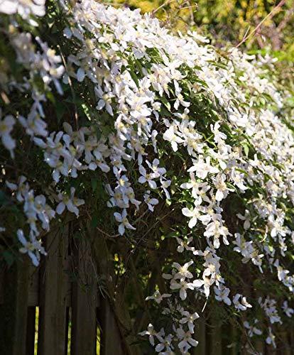 OBI montana grandiflora