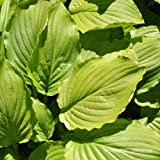 Funkie, Hosta plantaginea