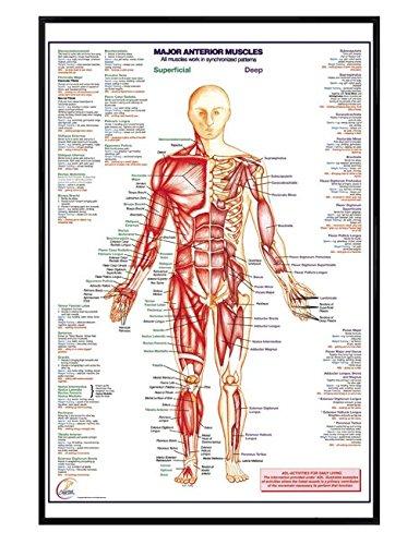 Glänzendes schwarz eingerahmtes Major Anterior Muscles Maxi Poster 61 x 91,5 cm