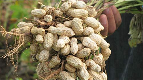 Semi di arachidi -Red Peanut Plant Organic Non-OGM semi di ortaggi per piantare-Delicious, alta resa-Arachis hypogaea 20 semi