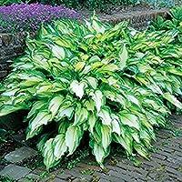 Fash Lady 100 STÜCKE Sementes Blumensamen Hosta Samen Feuer Und EIS Schatten mehrjährige Plantain Blume Bonsai Hausgarten Bodendecker Anlage 1