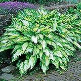 Vista 100 STÜCKE Sementes Blumensamen Hosta Samen Feuer Und Eis Schatten Stauden Wegerich Blume Bonsai Hausgarten Bodendecker Anlage 1