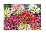80x Katzenschnurrbart Colour Fountain mix (Cleome)- Spinnenpflanze Samen KS358