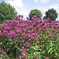lichtnelke - Indianernessel SCORPION (Monarda fistulosa) von Lichtnelke Pflanzenversand auf Du und dein Garten