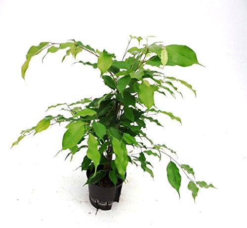 Birkenfeige, Ficus benjamini Reginald, Zimmerpflanze in Hydrokultur, 13/12er Kulturtopf, 30 - 40 cm