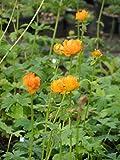 Trollius asiaticus - Sibirische Trollblume, 3 Pflanzen