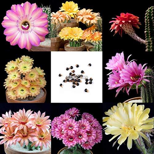 AGROBITS 10P Garten Balkon Zier Bonsai Multi- Pflanze Kakteensamen RR6