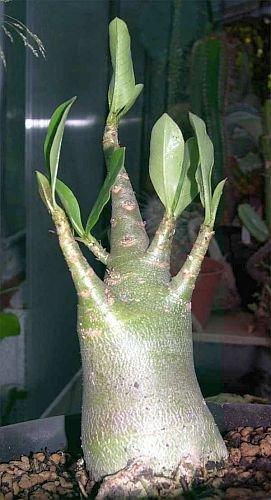 Adenium multiflorum - Impala Lily - 2 graines