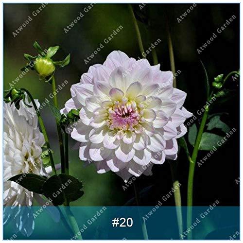Galleria fotografica Fash Lady ZLKING 2 pz Real Dahlia Lampadine Fiore Bonsai Bulbi Da Fiore Non Dahlia Pianta Perenne Bulbo in vaso Radice Per La Casa Giardino: 20