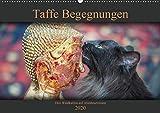 Taffe Begegnungen-Drei Waldkatzen auf Abenteuerreisen (Wandkalender 2020 DIN A2 quer): Begenungen der ungewöhnlichen Art. Bilder einer Abenteuerreise! (Monatskalender, 14 Seiten ) (CALVENDO Tiere)