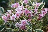Portal Cool 3X Weigelie Variegata Pale Pink Flower Hardy Garten Border Strauch Pflanzen 9cm Bush