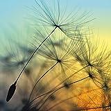 Artland Kunstdruck I Poster supertramp8 Goldener Sonnenuntergang und Pusteblumen, meditativer Zen-Hintergrund Botanik Blumen Pusteblume Fotografie Gelb B7VU