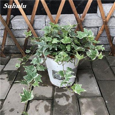 Galleria fotografica Promozione 100 Pz Chlorophytum semi Indoor piante bonsai assorbire la formaldeide perenne fiore semi in vaso Diy Pianta 11