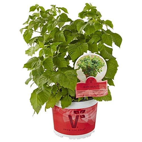 gartenbau-friedrich-kompakte-topf-himbeere-ruby-beauty-17cm-topf-mit-fruchten-im-ersten-jahr