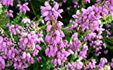 (4 PACK) 9cm Pot Heather Erica Cineria Eden Valley Summer Flowering Upright Form Soft Lilac Flowers