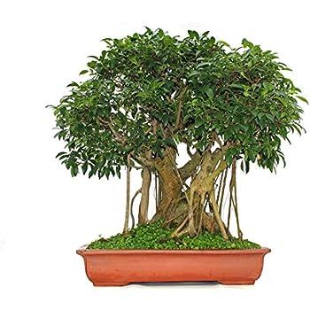 baobab baum affenbrotbaum ca 18 monate alt 17cm hoch garten. Black Bedroom Furniture Sets. Home Design Ideas