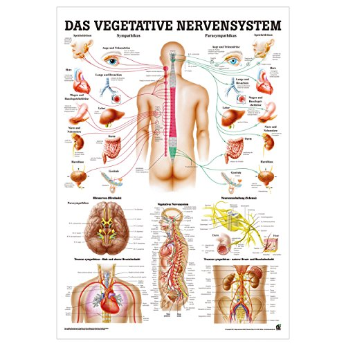 Vegetatives Nervensystem Mini-Poster Anatomie 34×24 cm med. Lehrmittel