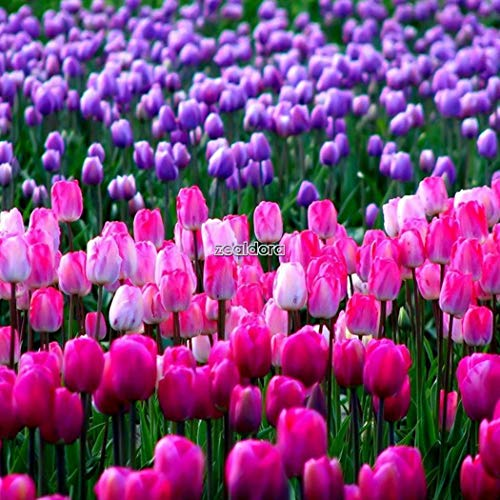 Plentree 100pcs: 100 perenni rari arcobaleno fiore del tulipano bulbi semi primavera bloom garden decor