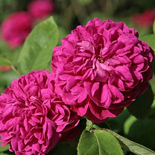 Kordes Rosen Historische Rose, Rose de Resht, fuchsienrot, 12 x 12 x 40 cm, 114-31