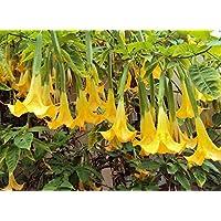 Portal Cool Brugmansia Suaveolens Amarillo, Trompeta del áNgel, 2 esquejes y Regalo