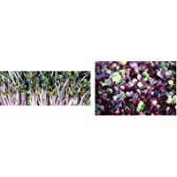 Premier Seeds Direct ORG154 40g Kale Pink Organic Sprouting Seeds