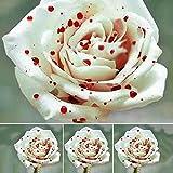 Azalea Gardens Rare Rose Flower Live Plant ' White Blood Drop ' Rose Flower Plant (1 Healthy Live Plant)