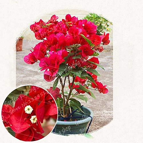getso 50pcs / bag bouganville bonsai fiore pianta messa a dimora in vaso giardino di casa decorazione albero pianta bouganville fiore: 1
